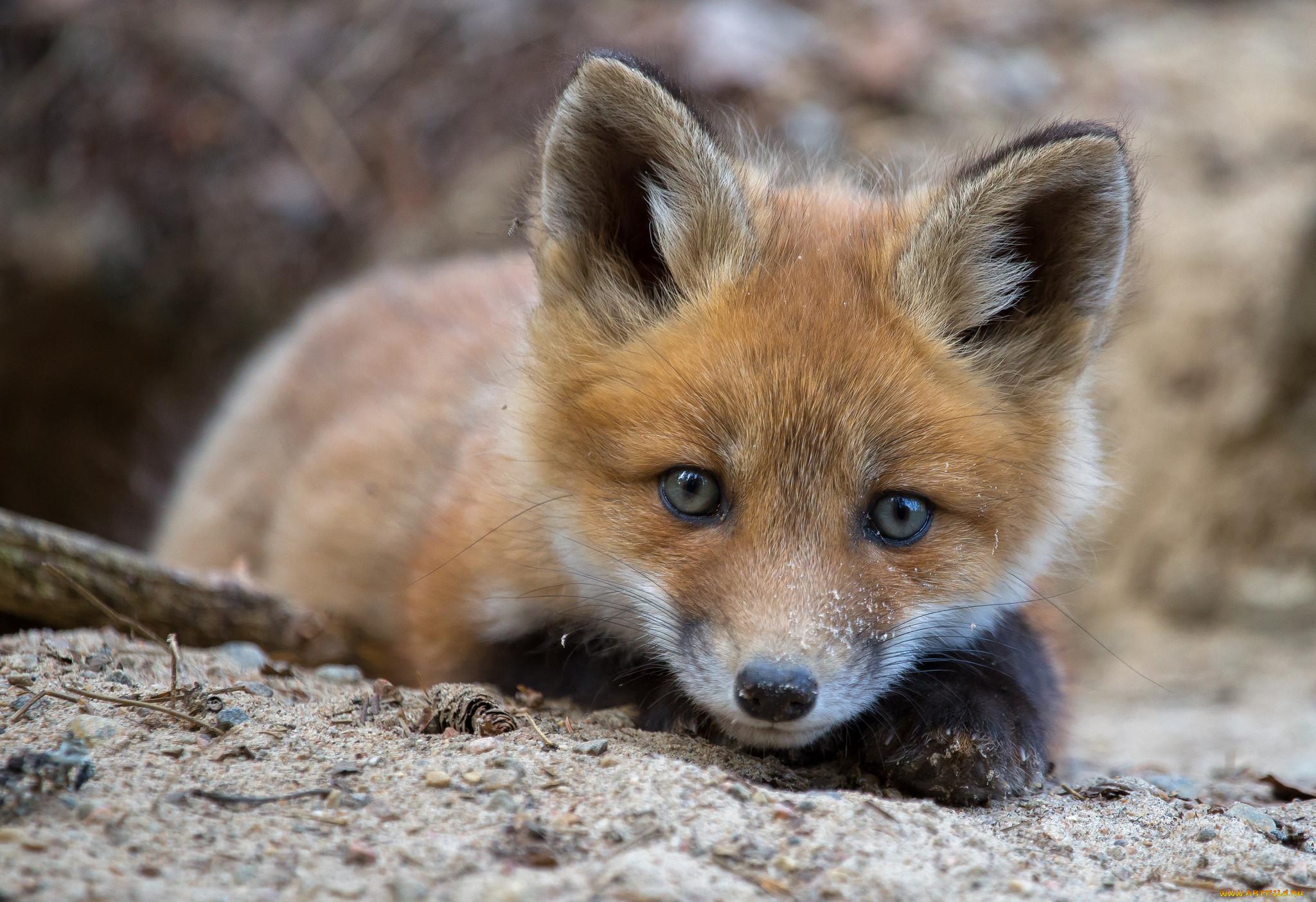 Милые картинки животных лисичка
